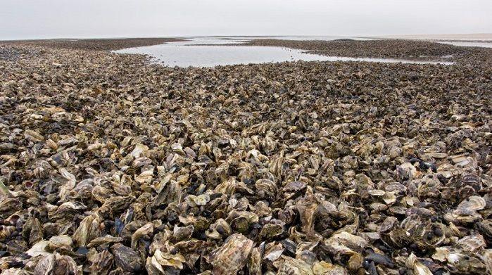 瀕臨生態浩劫!丹麥海岸爬滿生蠔...政府「引進這個後」竟完美解決?台灣福壽螺有救了