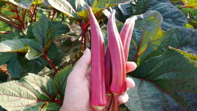 用這個方法種秋葵,一葉一果,一棵能長50個,多到吃不完