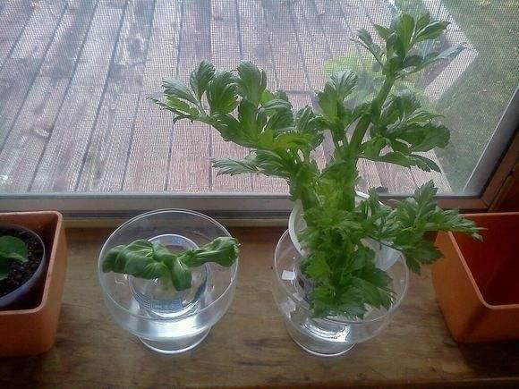 廚房吃剩的大蒜,芹菜根,隨手扔進水裡,長出陽台小菜園