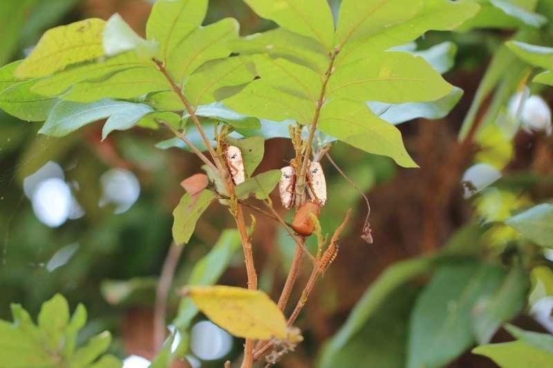 小心!荔枝龍眼盛花期最可怕的蟲 「碰一下」皮膚眼睛會灼傷潰爛