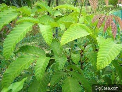 治療血癌最佳草藥:岩陀葉。。。幫助有需要的人,功德無量啊。。。!