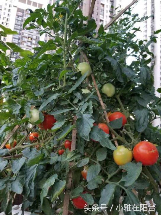 這6種蔬菜種陽台上,長勢特別旺結果特別多,連續三個月收菜不斷