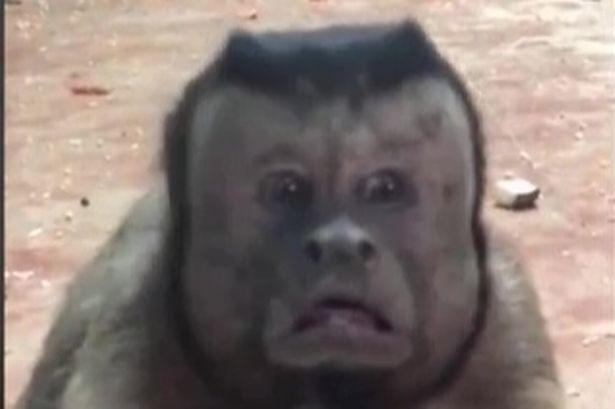 越看越毛「人麵猴」網瘋傳!「表情跟人類無異」網友:被附身了...(影片)